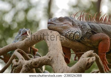 Big green lizard on the branch - stock photo