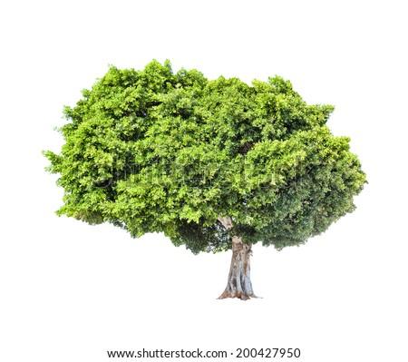 Big green lush tree isolated on white background. - stock photo