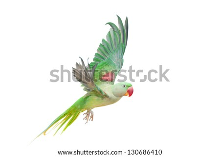 Big green ringed or Alexandrine parakeet (Psittacula eupatria) female  isolated over white background - stock photo