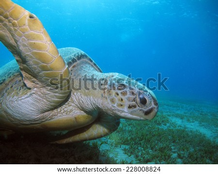 Big green turtle (Chelonia mydas) swimming over seagrass