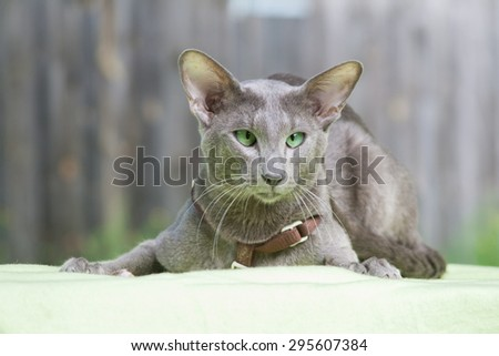 Big grey oriental cat