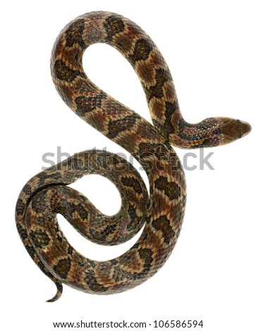 Big Ground Snake (Atractus major) from Ecuador - stock photo