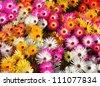 big group of Livingstone daisies - stock photo