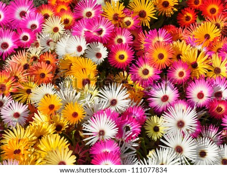 big group of Livingstone daisies