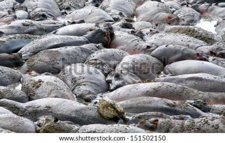 big group of more then 100 hippopotamus lying in a riverbed patched together  - stock photo