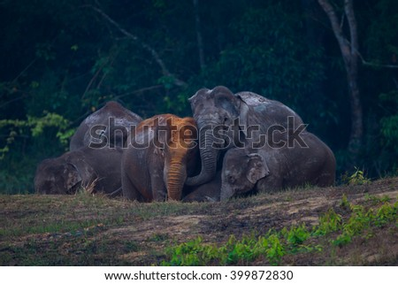 Big group of Wild elephants (Elephas maximus) playing each other in real nature in the evening at Khaoyai national park, Thailand - stock photo