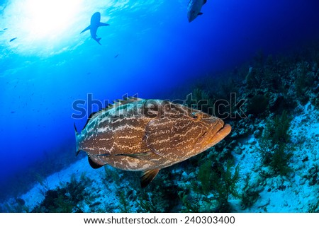 Big grouper close up and reef shark on background, scuba diving in Nassau, Bahamas - stock photo