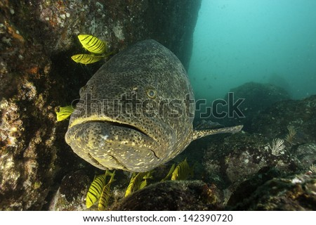 Big Grouper with yellow Grunts - stock photo