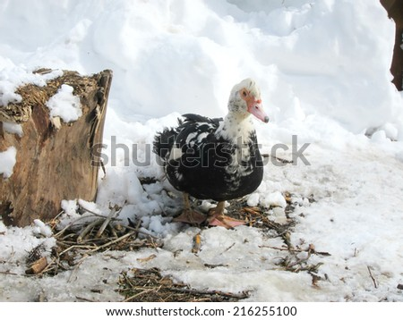 big grown duck on the snow - stock photo