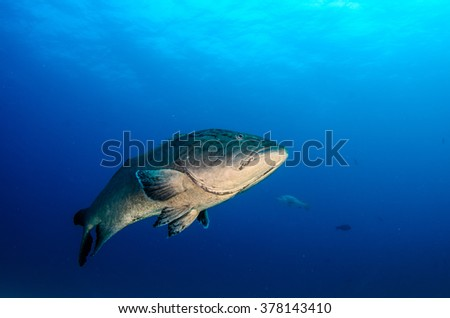 Big Gulf grouper (Mycteroperca jordani), resting in the reefs of the Sea of Cortez, Pacific ocean. Cabo Pulmo National Park, Baja California Sur, Mexico. The world's aquarium. - stock photo