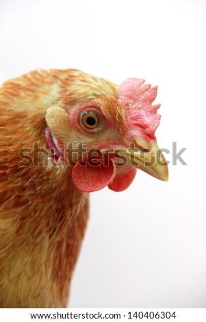 Big hen in the Ukrainian village - stock photo