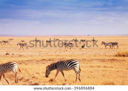 Big herd of African zebras walking at Kenyan plain - stock photo