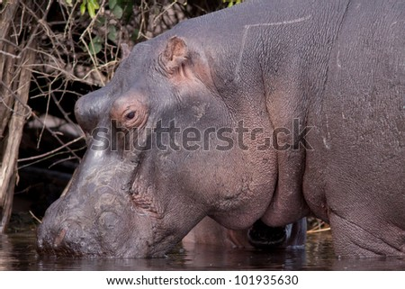 big hippopotamus - stock photo