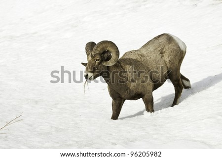 Big Horn Ram in Snow, Rocky Mountains