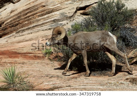 Big horn ram on the move - stock photo