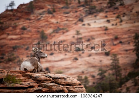 Big Horn sheep at zion national park