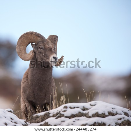 Big Horn Sheep, full curl, overlooking territory - stock photo