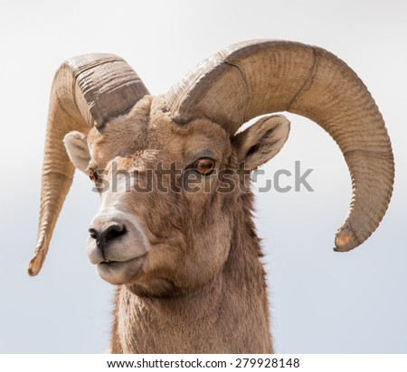 Big Horn Sheep, Ovis Canadensis - stock photo