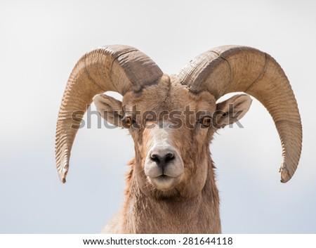 Big Horn Sheep, Ovis Canadensis - stock photo