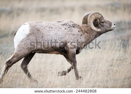 Big Horn Sheep ram, full body, facing right, pursuing a ewe that is off camera - stock photo