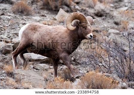 Big Horn Sheep ram, full body, full curl, facing right - stock photo