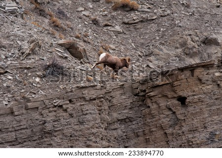 Big Horn Sheep ram running along a bluff's edge, close to edge - stock photo