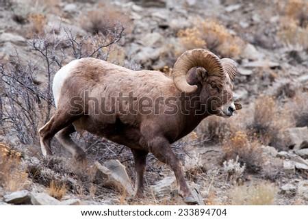Big Horn Sheep ram running down a hillside - stock photo