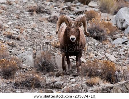 Big Horn Sheep ram running toward photographer, full curl, full body, motion - stock photo