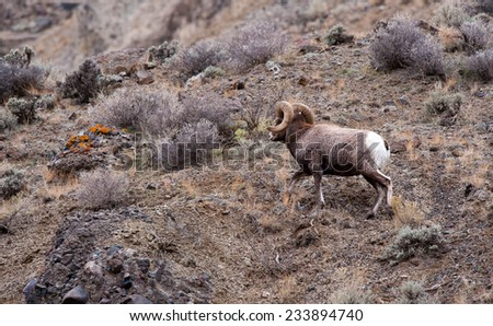 Big Horn Sheep ram running up a hill to safety - stock photo