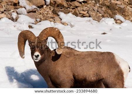 Big Horn Sheep ram with a full curl looking at photographer, in snow - stock photo