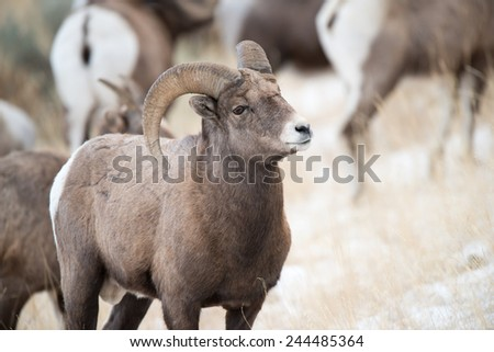 Big Horn Sheep ram with ewes in the background - stock photo