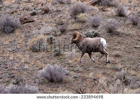 Big Horn Sheep running, facing left, full curl - stock photo