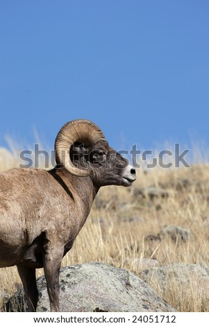 Big Horn Sheep Yellowstone National Park