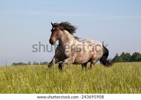 Big horse running along the pasture