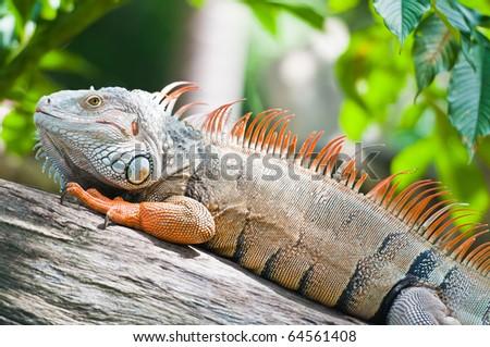 big iguana - stock photo