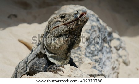 Big iguana. Close up.