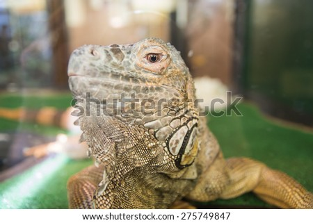 Big iguana in terrarium observing throw the glass