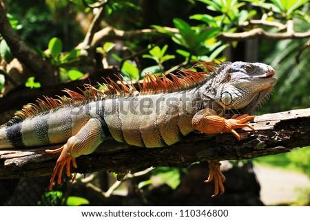 Big iguana  on the tree - stock photo
