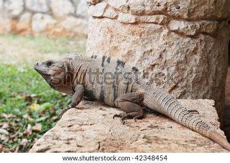 Big iguana resting on stone at Xcaret Natural Park, Riviera Maya, Mexico - stock photo