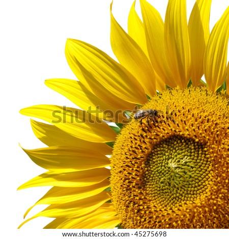 Big isolated sunflower. Element of design. - stock photo