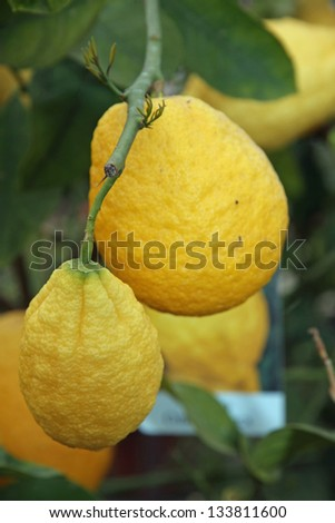 big juicy and wrinkled lemon hanging on the plant in summer - stock photo