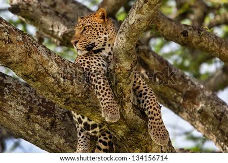 Big Leopard in the tree, Serengeti, Tanzania
