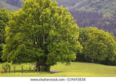 Big lime tree by a countryside road in meadow