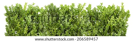 Big Line of the Christmas coniferous evergreen bush branches isolated