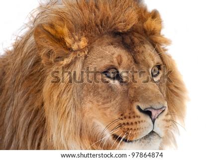 Big lion close up portrait - stock photo