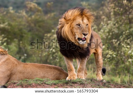 Big Lion King Lipstick watched as one of his lionesses chased away three cheetahs from his territory in Masai Mara, Kenya - stock photo