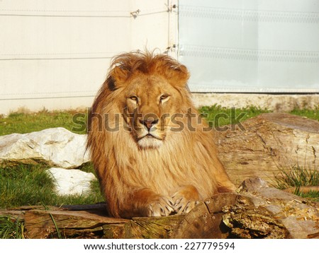 Big lion lying in the zoo - stock photo