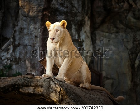Big lion lying . Landscape with characteristic trees on the plain in the background. - stock photo