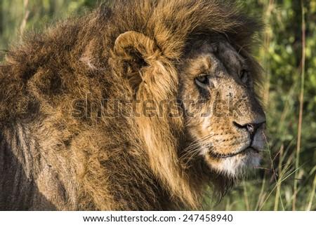 Big lion lying on savannah grass. - stock photo