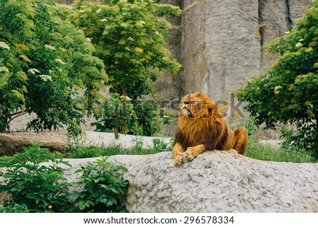 Big lion lying on stones in a zoo. - stock photo